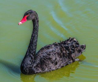 Trump; Black Swan; Wispelturigheid